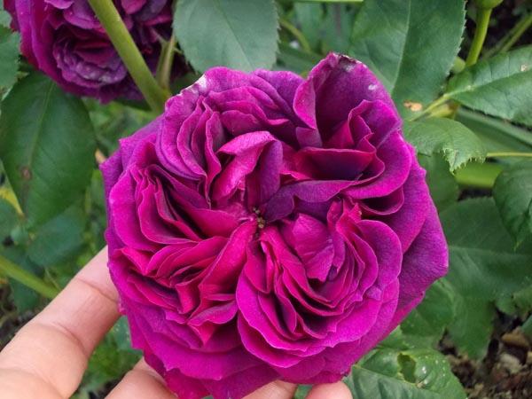 Rosa Purple Lodge  - Page 4 Dscn8410