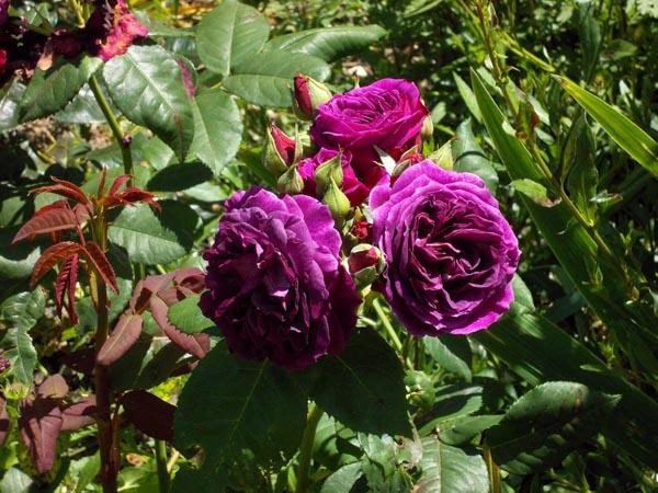 Rosa Purple Lodge  - Page 4 Dscn9810