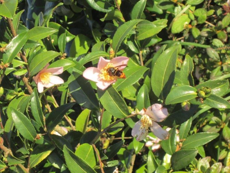 Le frelon asiatique, cet envahisseur, tueur d'abeilles ! Img_4412
