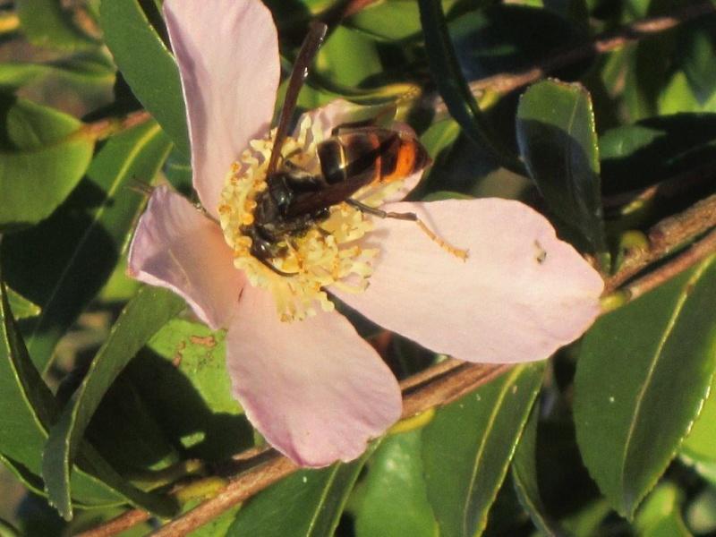 Le frelon asiatique, cet envahisseur, tueur d'abeilles ! Img_4413