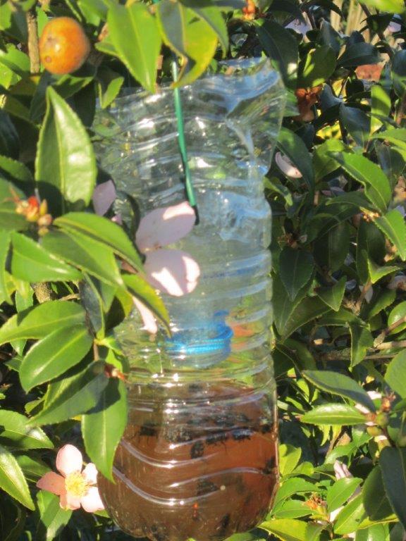 Le frelon asiatique, cet envahisseur, tueur d'abeilles ! Img_4414