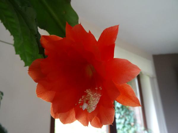 Disocactus ackermannii Epiphy10