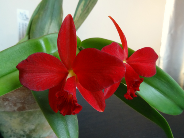 Sophrolaeliocattleya Little Hazel Little10