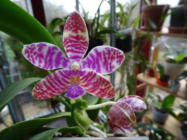 Phalaenopsis lueddemaniana Phal_l10