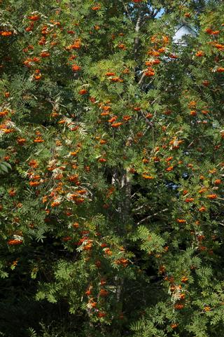 Sorbus aucuparia - sorbier des oiseleurs - cultivars et hybrides Sorbie10