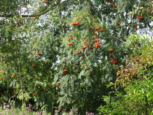 Sorbus aucuparia - sorbier des oiseleurs - cultivars et hybrides Sorbie11