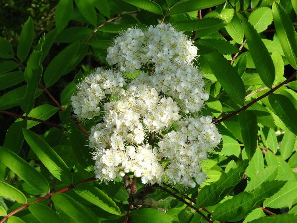Sorbus aucuparia - sorbier des oiseleurs - cultivars et hybrides Sorbie12