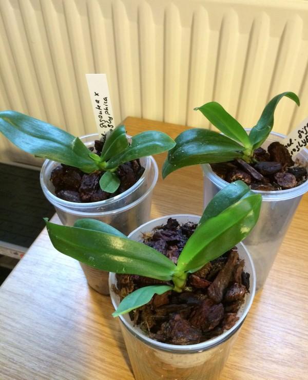 Phalaenopsis gigantea x hieroglyphica Phal_g10