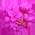 Gainier => Fleur de Gainier Redbud10