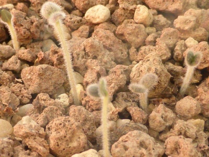 Echium wildpretii P1050543