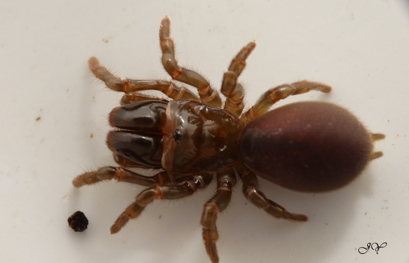 Mygale.[Atypus affinis.] Dsc01710