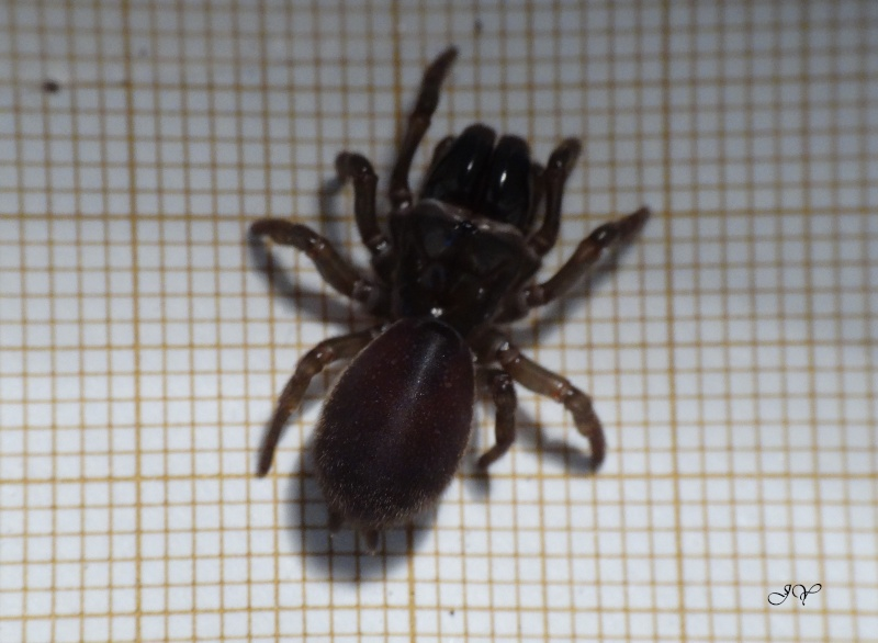 Mygale.[Atypus affinis.] Dsc01711