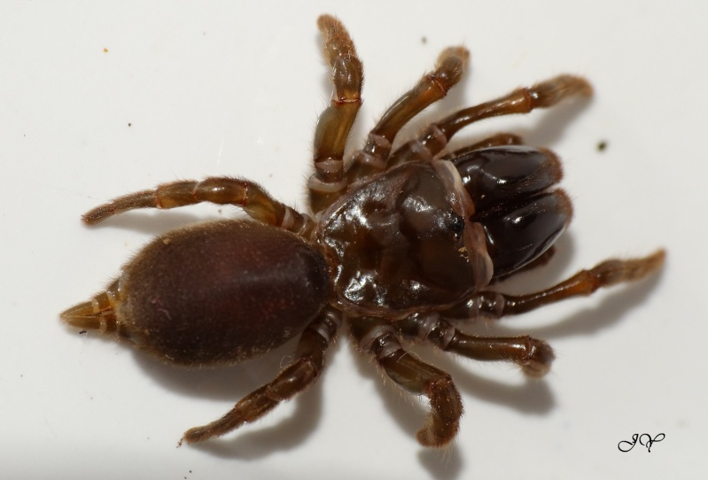 Mygale.[Atypus affinis.] Dsc02411