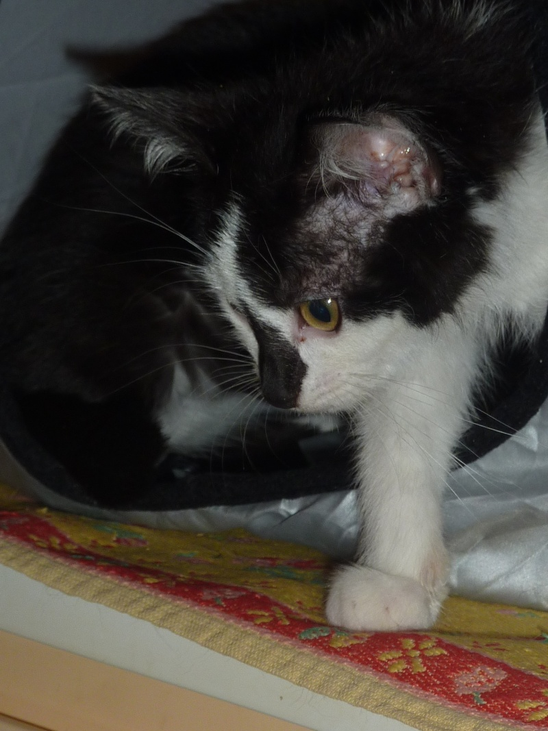 Joël, mâle, 09.2014, noir et blanc, poil mi-long P1160714