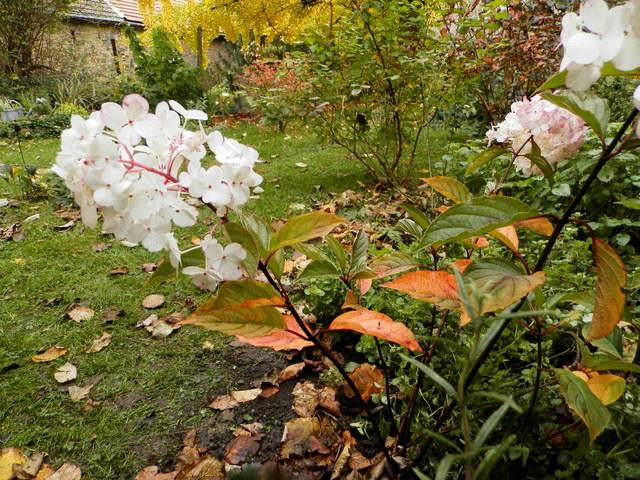 Hydrangea vanille-fraise. Panicu10
