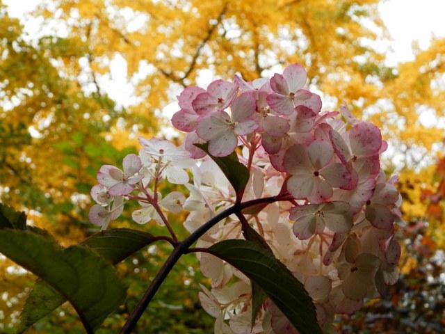 Hydrangea vanille-fraise. Panicu11