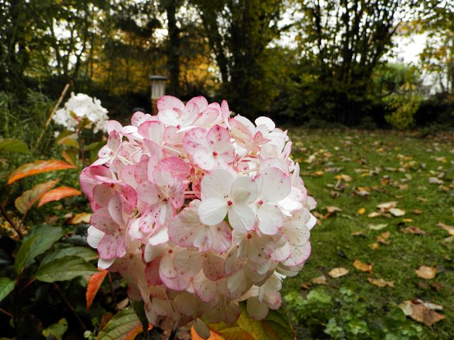 Hydrangea vanille-fraise. Panicu12
