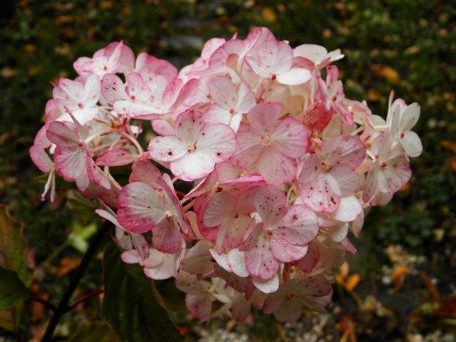 Hydrangea vanille-fraise. Vanill10
