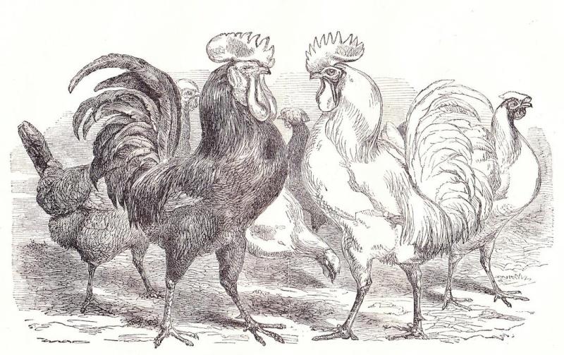 La moda en las gallinas Spanis10
