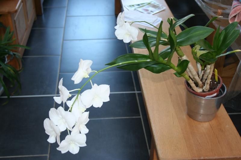 dendrobium emma white Img_0815