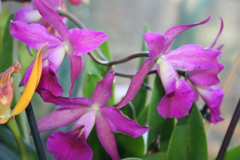 cattleya violet  - Page 2 Img_0818