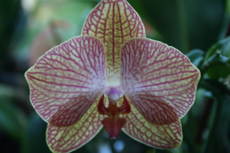 phalaenopsis hybride rayé rose Img_0820
