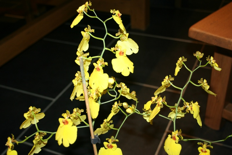 oncidium pluie d'or - Page 4 Img_0825