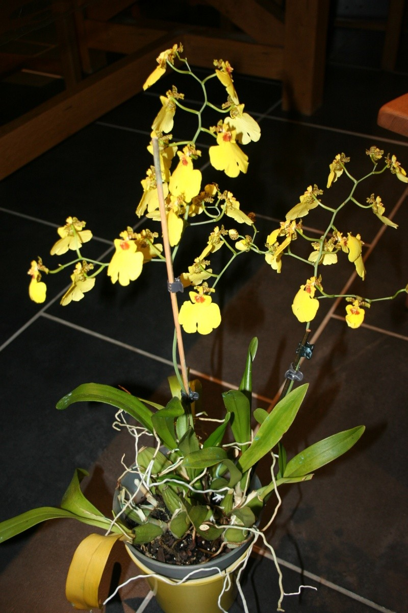 oncidium pluie d'or - Page 4 Img_0826