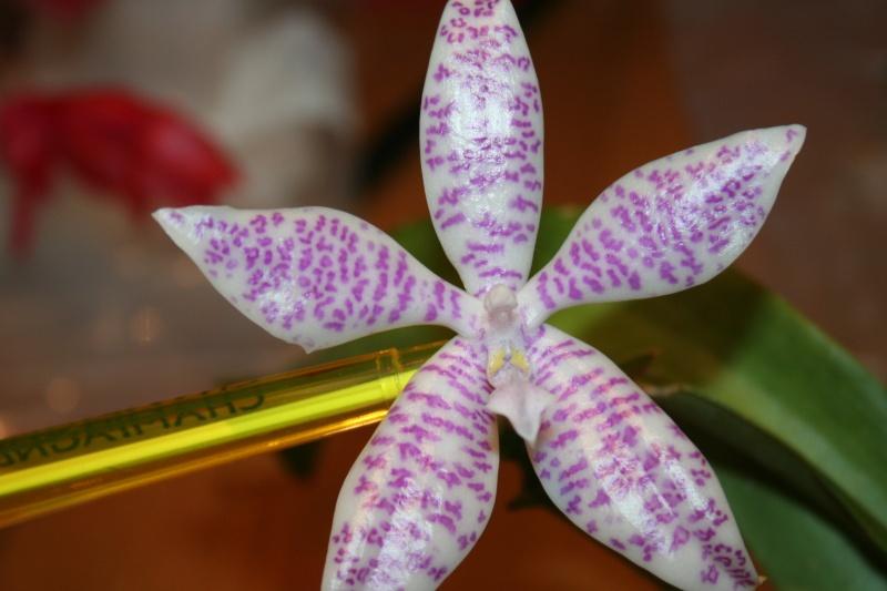 phalaenopsis  hieroglyphica Img_0829