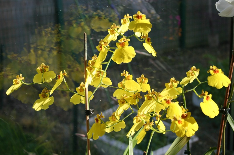oncidium pluie d'or - Page 4 Img_0831