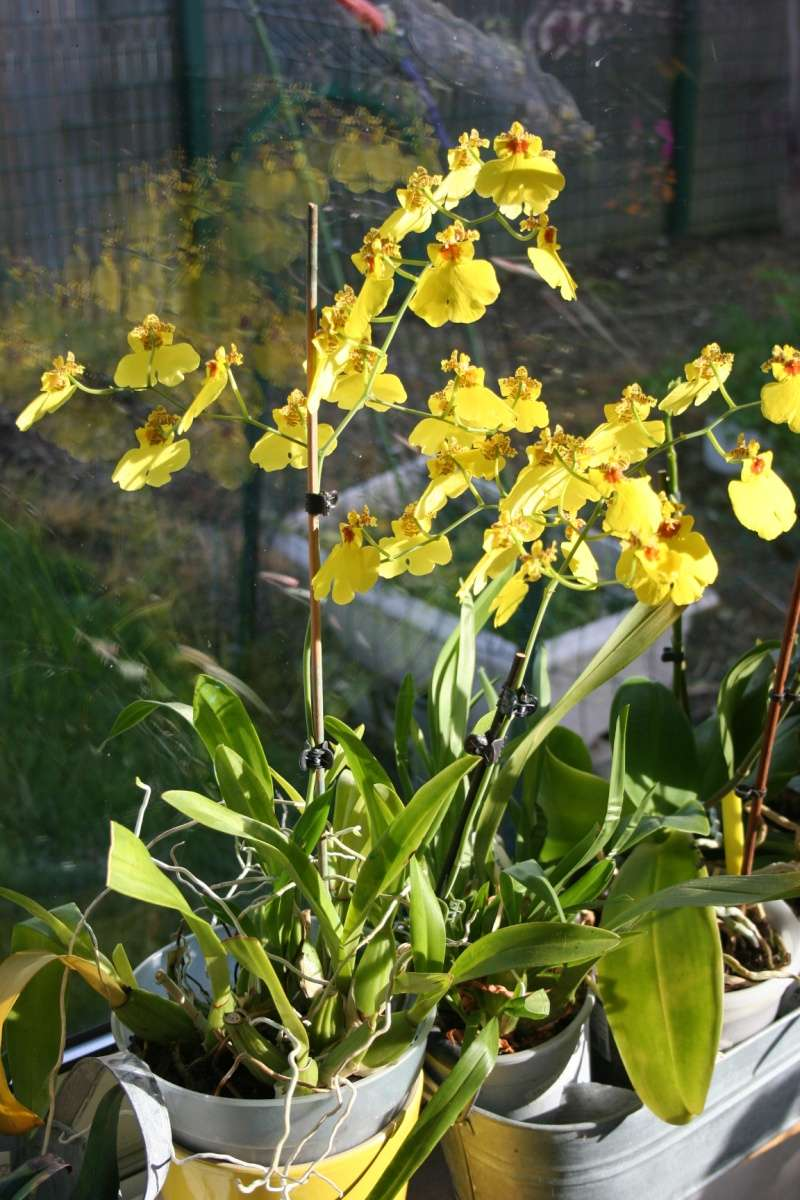 oncidium pluie d'or - Page 4 Img_0832