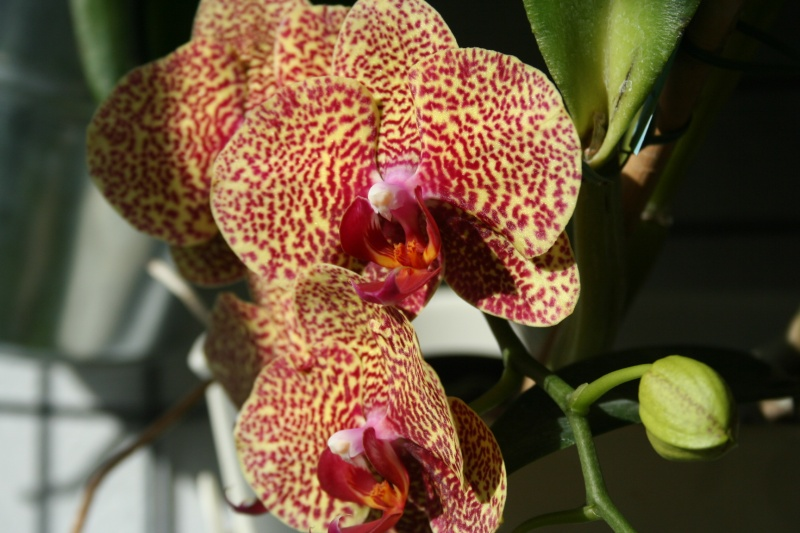 phalaenopsis dazzle - Page 3 Img_0833