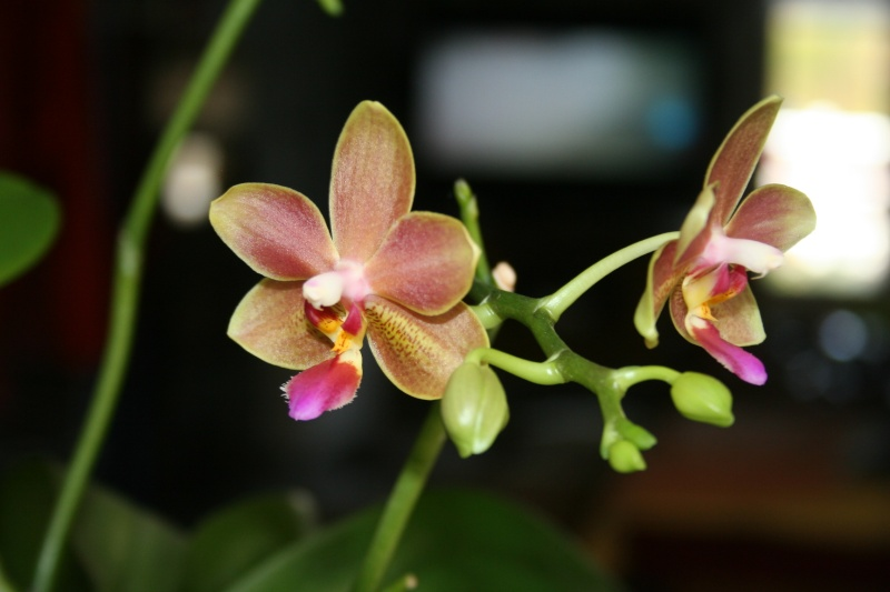 phalaenopsis orianne - Page 2 Img_0910