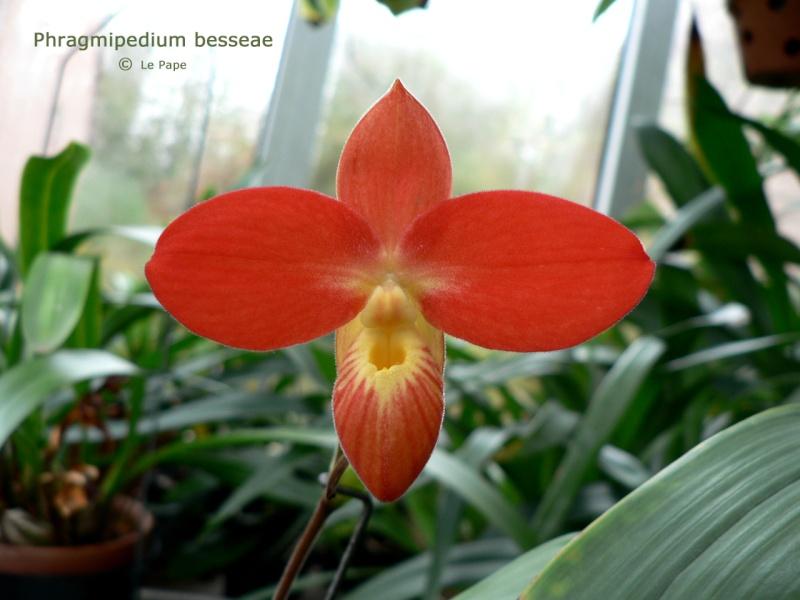Phragmipedium besseae Phragm10