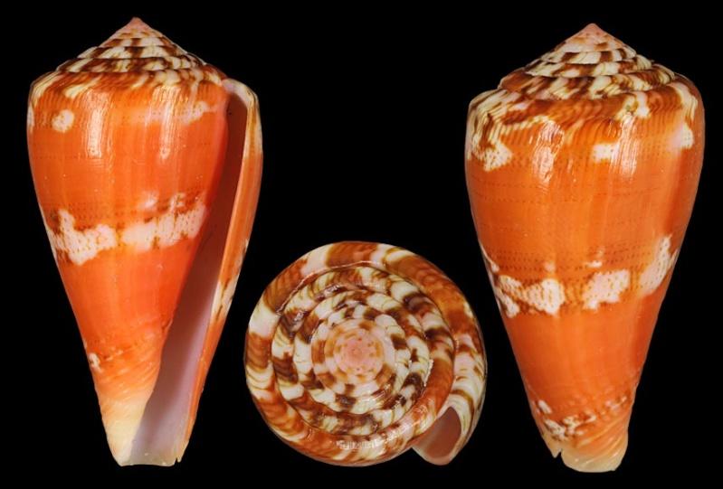 Conidae Purpuriconus (obsolète) - Le genre intégré à Conus (Dauciconus) Alaina10