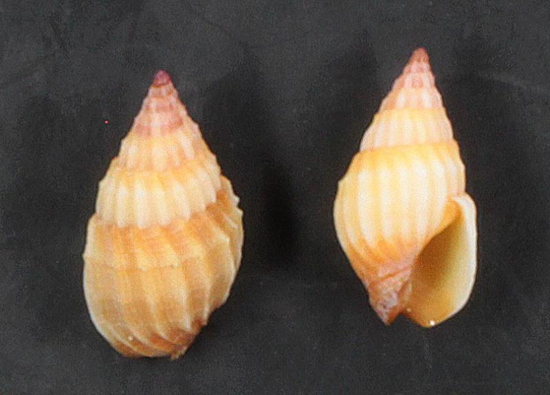 Nassariidae ? d'Indonésie = Phos textum Img_9111