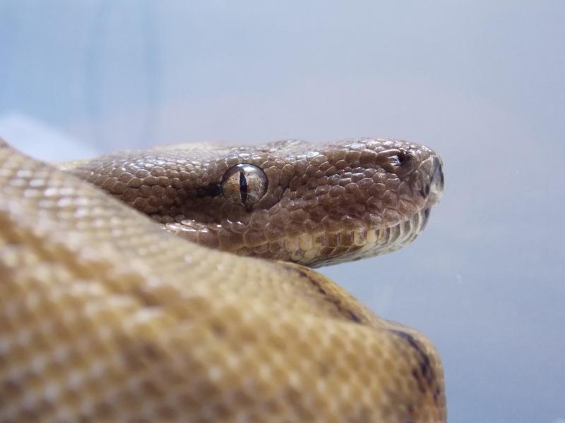 Boa constrictor sabogae Dscn3615
