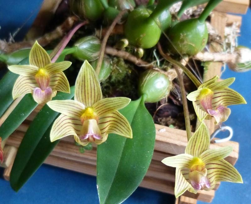 Bulbophyllum capillipes C.S.P.Parish & Rchb.f. 1874 Bulb_c10