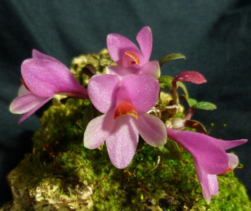 Miniatur-Orchideen 2. Teil - Seite 4 Dendro11