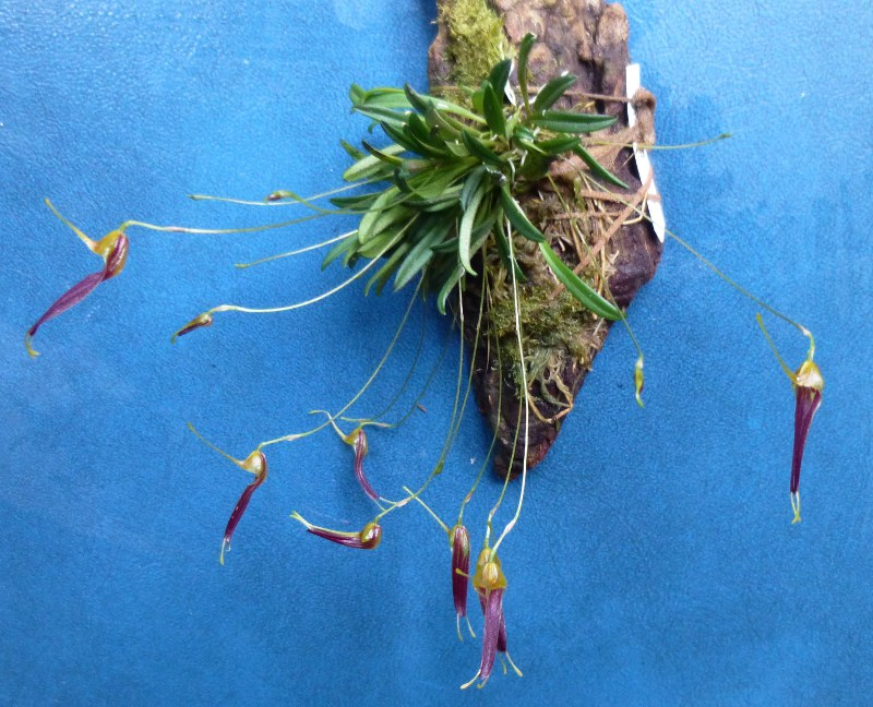 Miniatur-Orchideen 2. Teil - Seite 4 Triset14