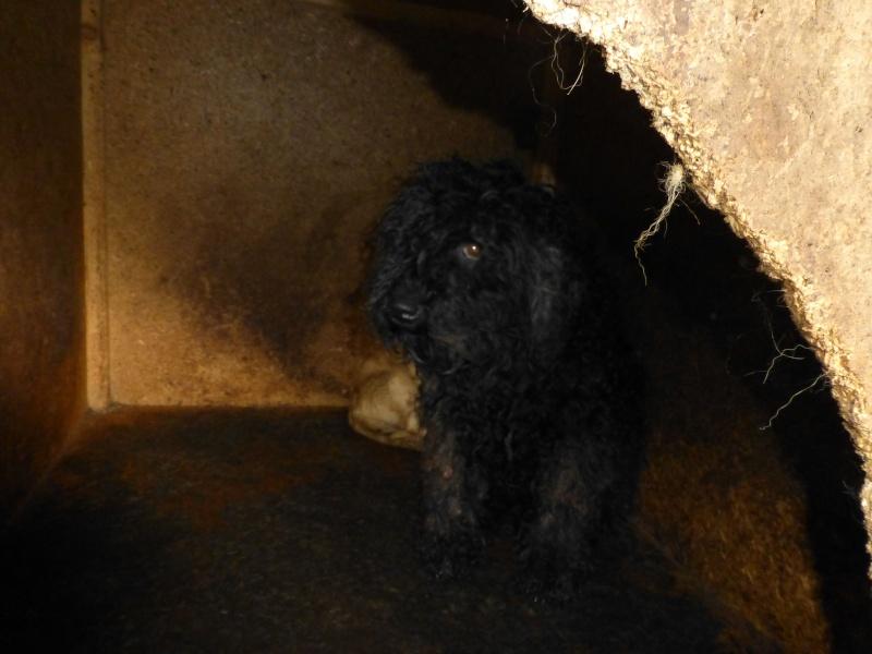 BOOGIE, F-Type PULI, taille moyenne, née 2011 (BACKA/FOURRIERE) - En FA chez Reglisseval (Départ94) 11410