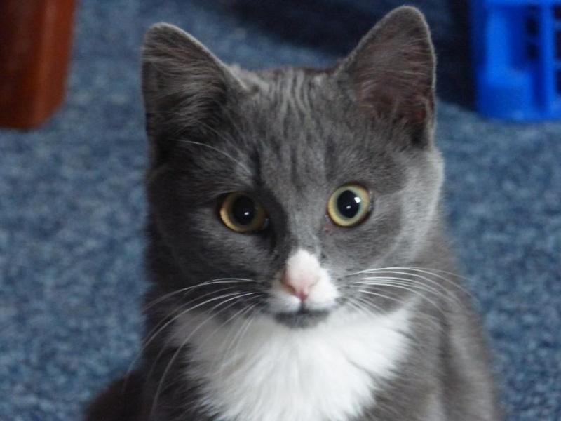 Berlioz (ancien Juki), mâle gris et blanc né 1er juin 2014 P1050011