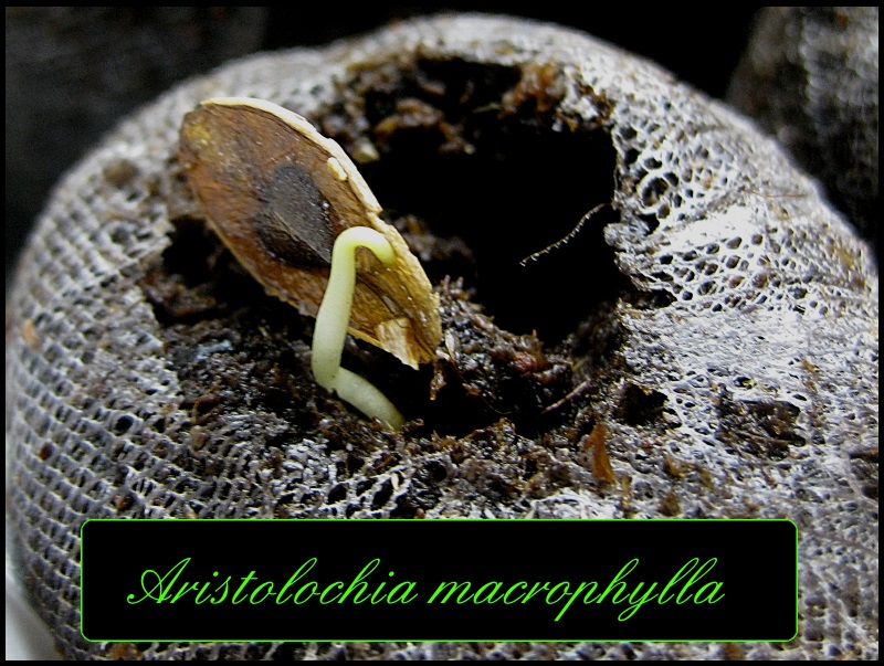 Aristolochia - Aussaat, Pflege, Vermehrung, Erfahrung in Kultur - Seite 3 A10