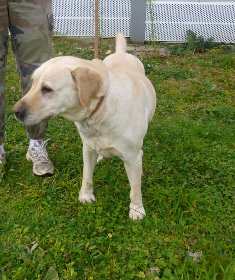BETTY  Labrador sable 250269810534118  Betty10