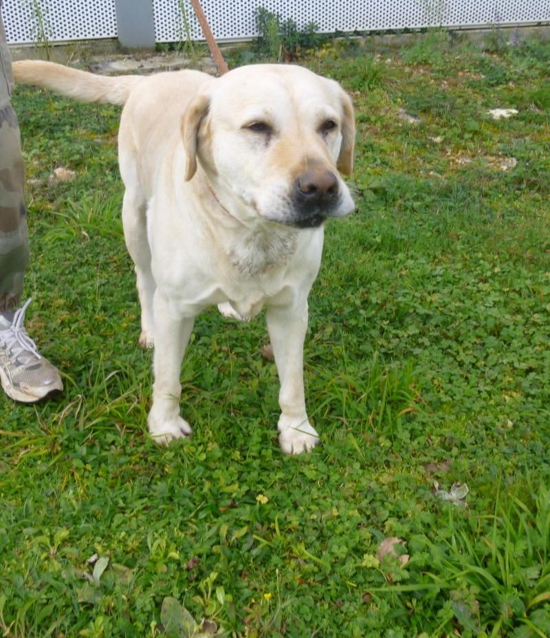 BETTY  Labrador sable 250269810534118  Betty_10