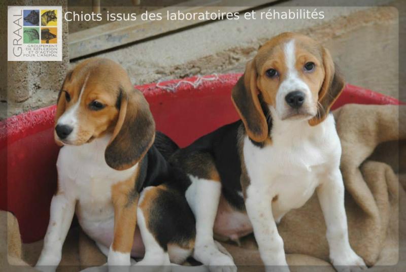 Le Refuge de l'Angoumois s'engage pour la réhabilitation de chiots de laboratoire Chiots11