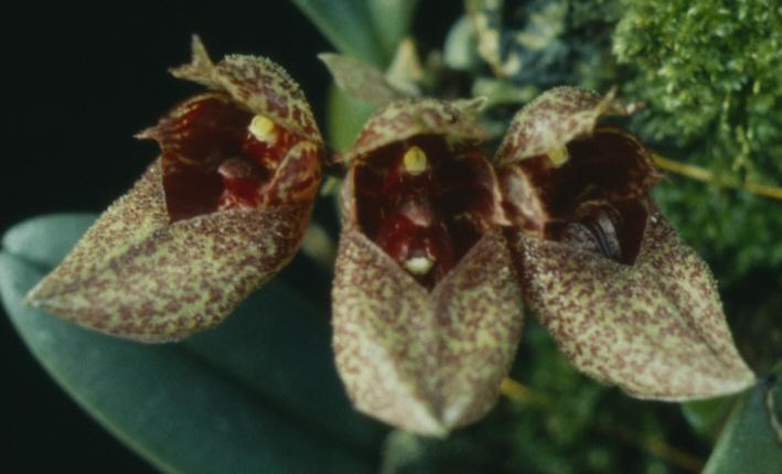 Bulbophyllum capillipes C.S.P.Parish & Rchb.f. 1874 Bulb_f10