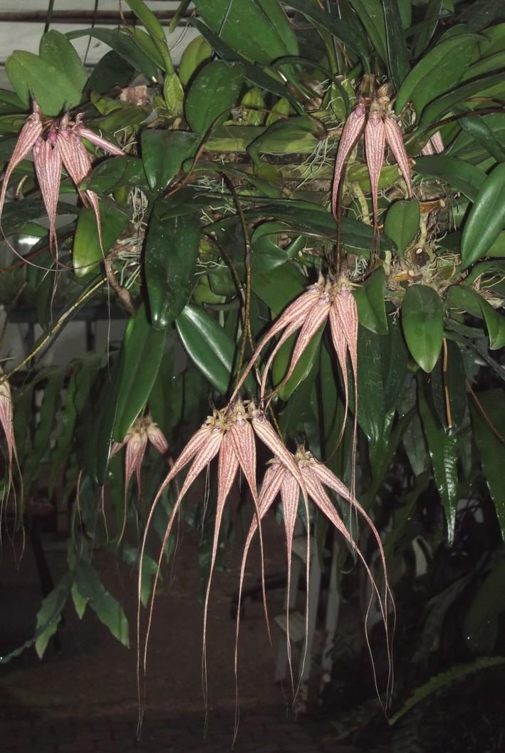 Bulbophyllum capillipes C.S.P.Parish & Rchb.f. 1874 Bulbop10