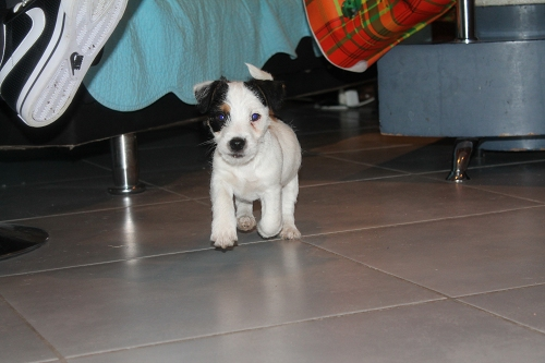 Chiots jack russell LOF Img_0411