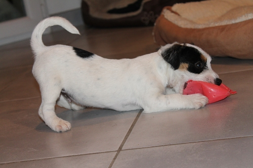 Chiots jack russell LOF Img_0511